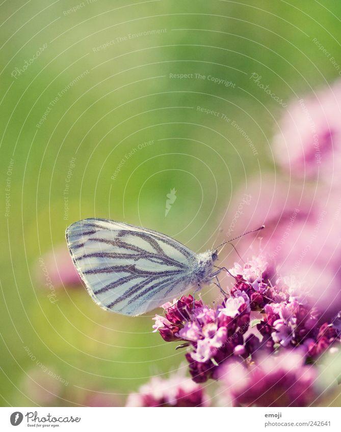 so rosarosarot Natur Pflanze Frühling Blume Blüte Tier Schmetterling 1 grün Leichtigkeit Farbfoto mehrfarbig Außenaufnahme Nahaufnahme Detailaufnahme