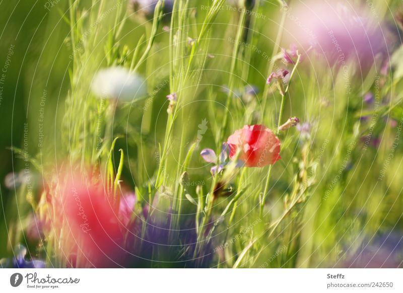 Sommerwiese Natur Pflanze Schönes Wetter Blume Gras Blüte Wildpflanze Blumenwiese Sommerblumen Wiesenblume Mohn Mohnblüte Kornblume Blühend natürlich grün rot