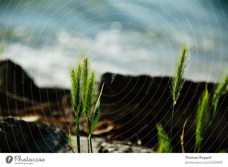 Wasserstimmung Ferne Freiheit Sommer Sommerurlaub Umwelt Natur Pflanze Urelemente Schönes Wetter Gras Sträucher Blatt Grünpflanze Wildpflanze Küste Seeufer