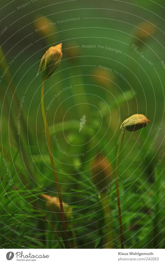 Im verborgenen 1 grün Pflanze Sommer braun gold stehen geheimnisvoll Idylle Moos tragen Waldboden Wildpflanze Sporenkapsel