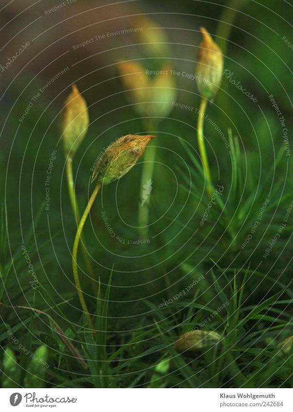 Im verborgenen 2 Sommer Moos stehen braun gelb gold grün Idylle Sporenkapsel Waldboden filigran Botanik Vegetation Farbfoto Außenaufnahme Makroaufnahme