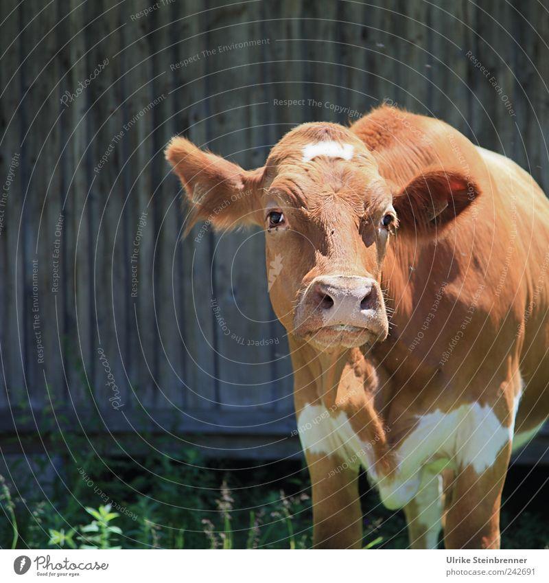 Guck nicht so! Tier Gras Nutztier Kuh Tiergesicht 1 beobachten Blick stehen natürlich Neugier braun Hütte Bergalm Fleckvieh Vieh Viehzucht begegnen schmollen