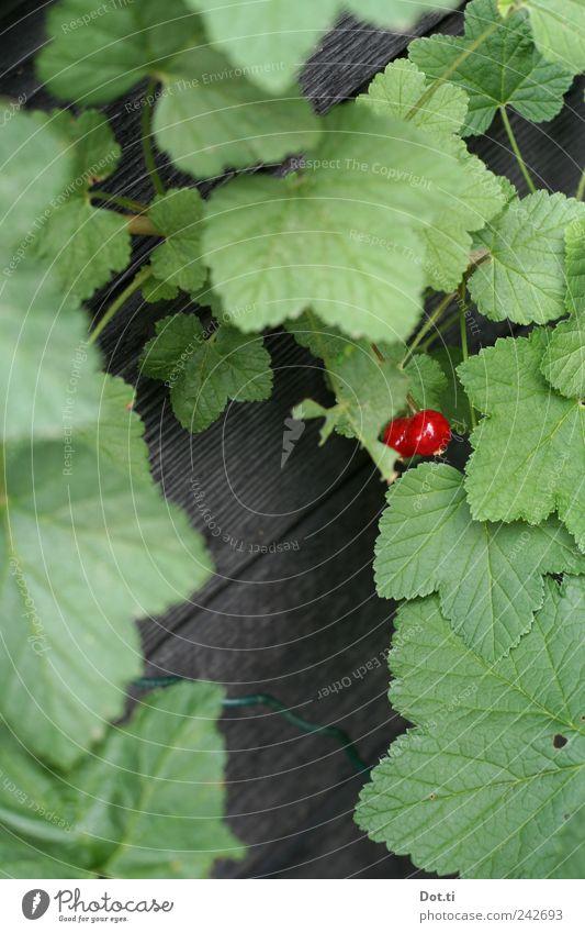 Ribisel Frucht Pflanze Sträucher Blatt Nutzpflanze Garten grün rot Überleben Wachstum reif Johannisbeeren 2 versteckt ernten Farbfoto Außenaufnahme Nahaufnahme