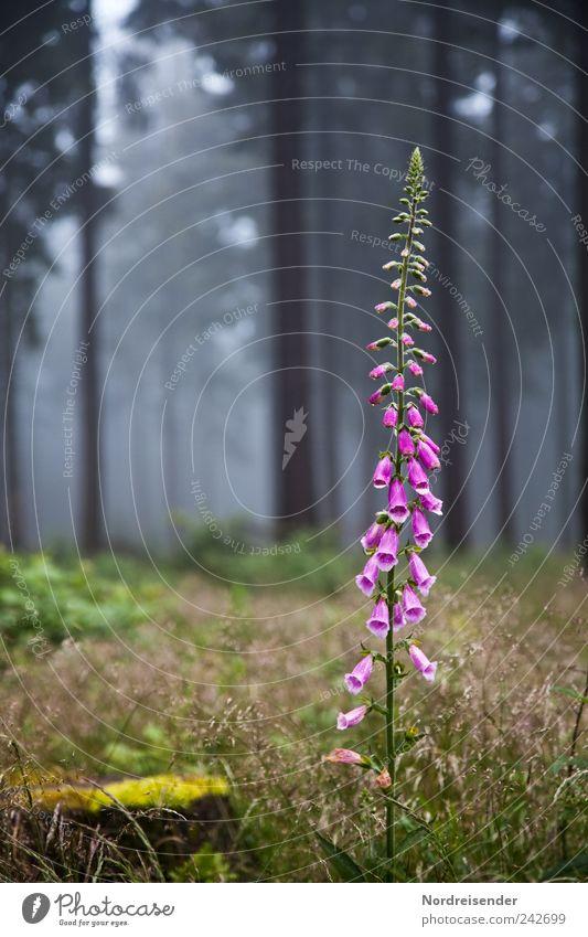 Fingerhut Natur Pflanze Sommer Blume Wald Gras Blüte Nebel elegant ästhetisch violett Blühend exotisch Gift Waldlichtung Heilpflanzen