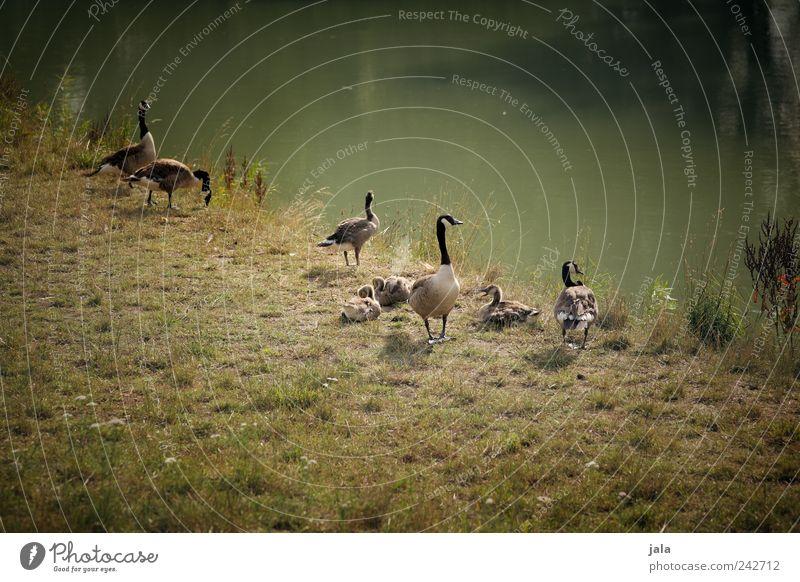 großfamilie Natur Sommer Gras Grünpflanze Wildpflanze Wiese Fluss Tier Wildtier Gans Kanadagans Tiergruppe Zusammensein natürlich wild braun grün Farbfoto