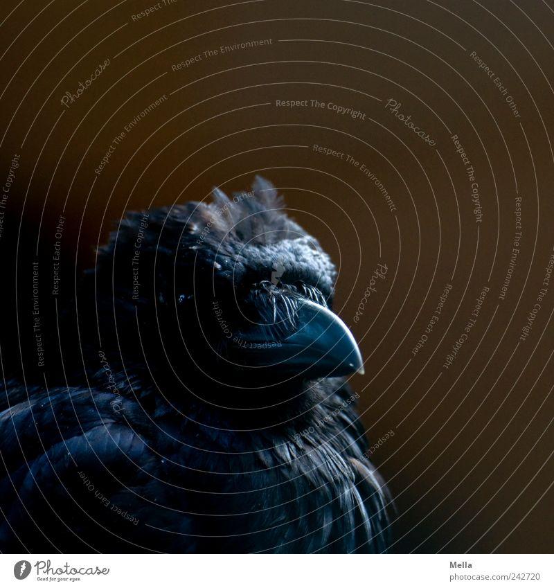 Black Bibo Tier Vogel Krähe Schnabel Feder gefiedert 1 Blick dunkel nah schwarz Stolz ästhetisch Farbfoto Gedeckte Farben Nahaufnahme Menschenleer Schatten