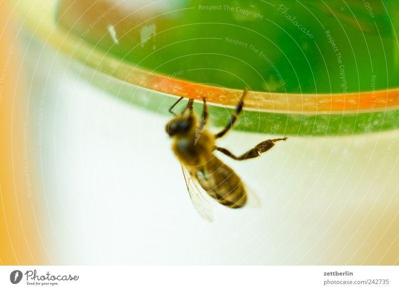 Biene am Zuckerglas Natur Baum Pflanze Tier Erholung Wachstum Wildtier Biene Süßwaren Schrebergarten füttern