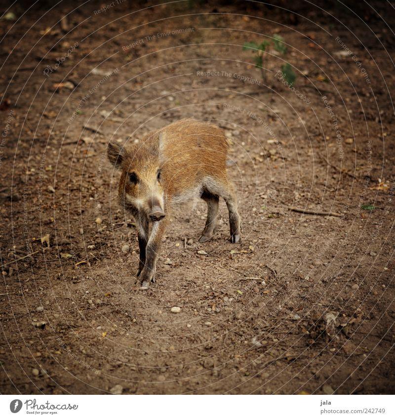 kleine sau Natur schön Tier braun frei Wildtier Tierjunges Wildschwein Frischling