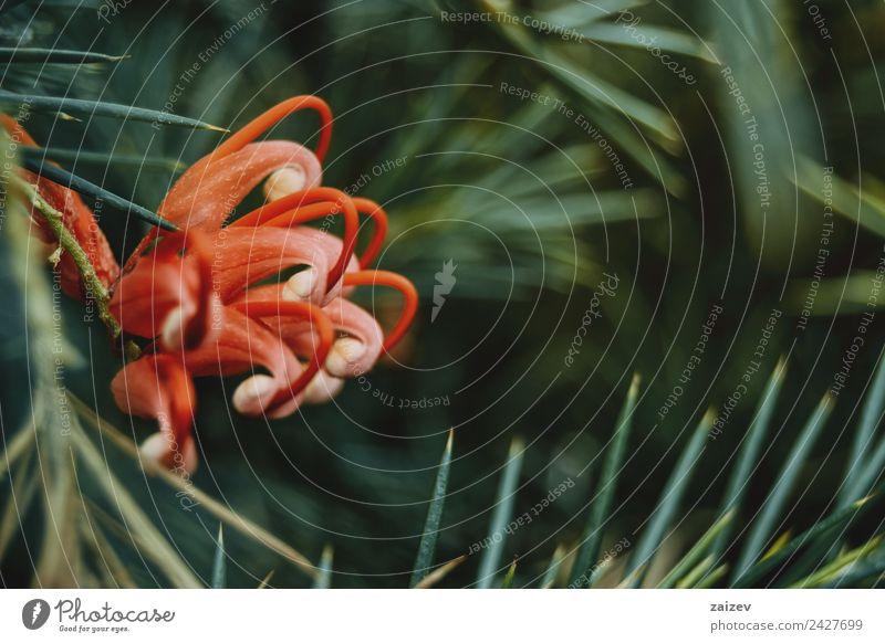 Rote Grevillea-Blüten mit grünen Blättern exotisch schön Sommer Garten Natur Pflanze Blume Blatt Park hell lustig natürlich wild rosa rot Farbe grevillea