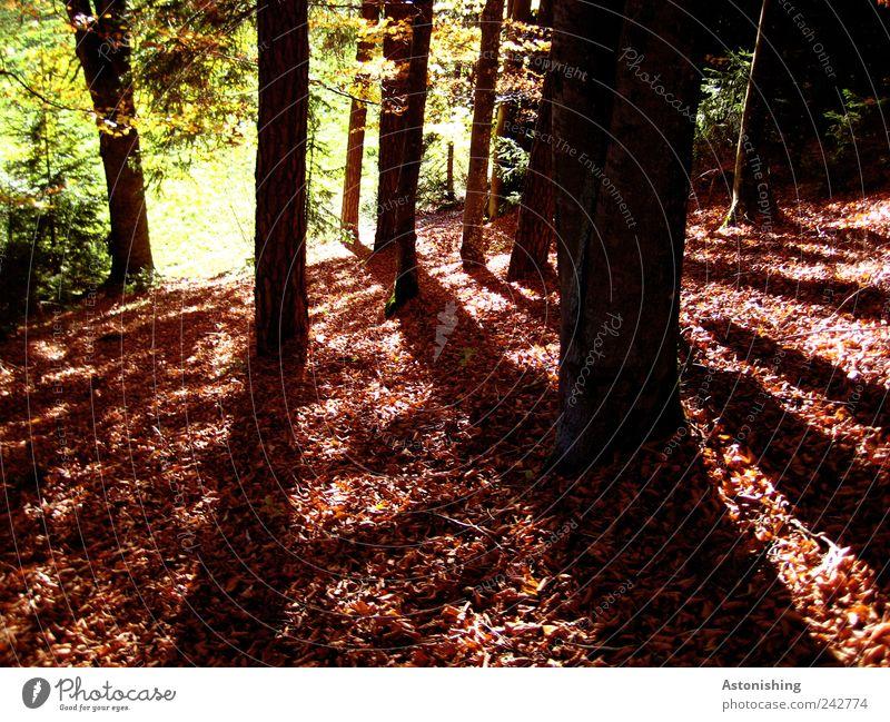 am roten Boden Umwelt Natur Landschaft Pflanze Erde Herbst Wetter Schönes Wetter Baum Gras Grünpflanze Wiese Wald stehen hoch braun grün schwarz Waldboden