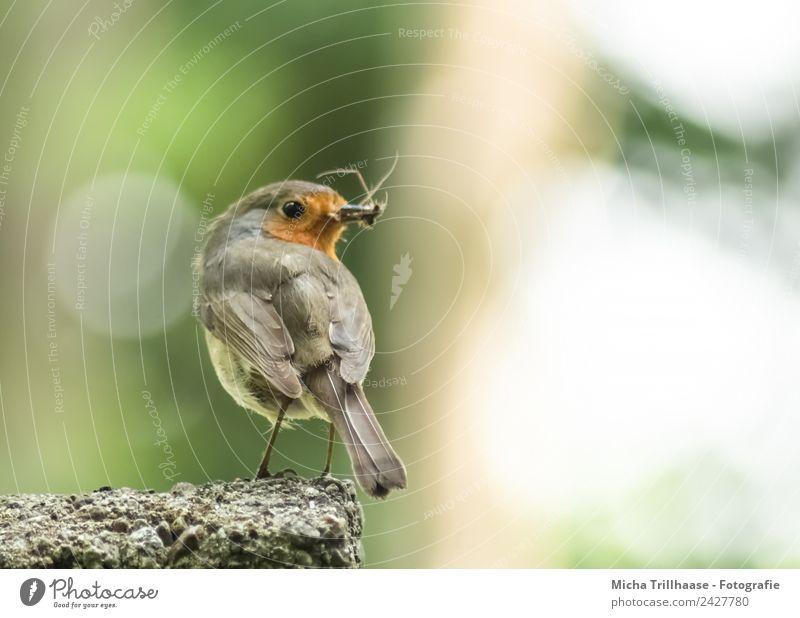 Rotkehlchen mit Insekten im Schnabel Umwelt Natur Tier Sonne Sonnenlicht Schönes Wetter Wildtier Vogel Tiergesicht Flügel Krallen Auge Feder 1 Stein beobachten