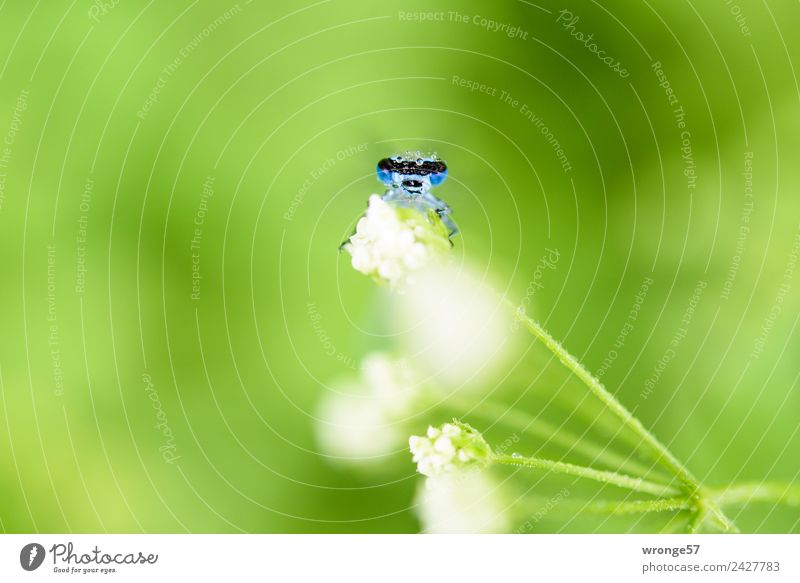 Libelle sitzt auf einer Blüte I Natur Pflanze Tier Sommer Park Wiese Wildtier Tiergesicht 1 beobachten klein nah blau grün weiß Insekt Makroaufnahme Querformat