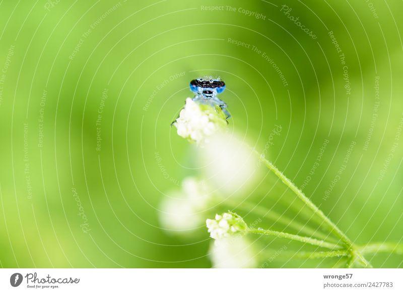 Libelle sitzt auf einer Blüte I Natur Sommer blau Pflanze grün weiß Tier Wiese klein Park Wildtier beobachten nah Insekt Tiergesicht