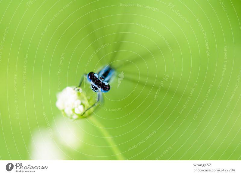 Libelle sitzt auf einer Blüte II Natur blau grün weiß Tier schwarz natürlich Wiese klein Garten Park Feld Wildtier beobachten Pause Insekt