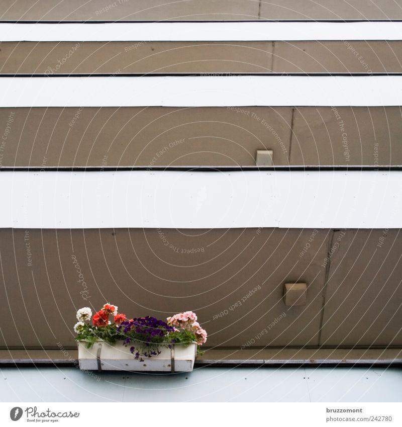 one in every crowd Blume Pflanze Haus Blüte Gebäude trist Dekoration & Verzierung Häusliches Leben Balkon Gartenarbeit Frühlingsgefühle Pelargonie Topfpflanze
