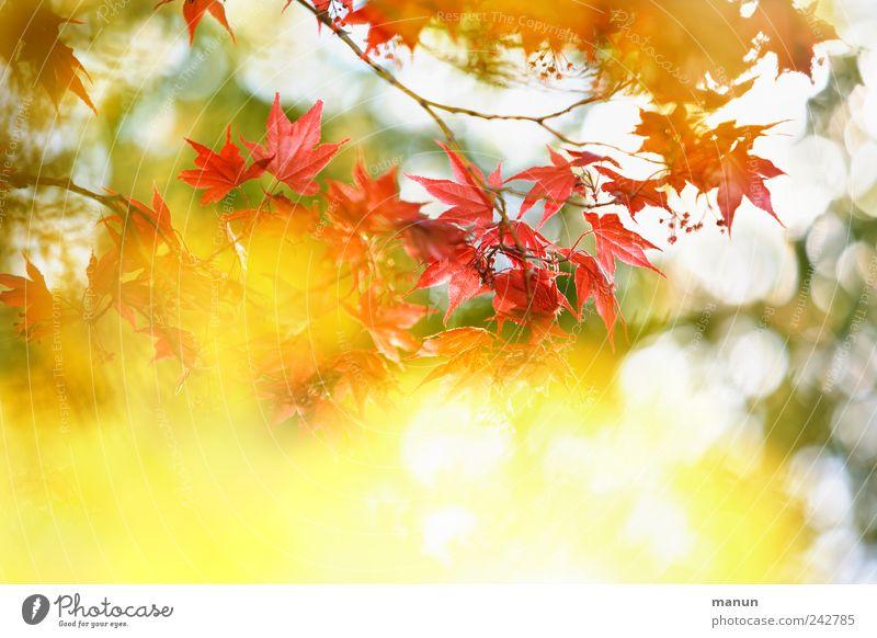 Sonnenflecken Natur schön Blume rot Blatt gelb Herbst Frühling glänzend authentisch Ast fantastisch natürlich leuchten Ahorn Ahornblatt