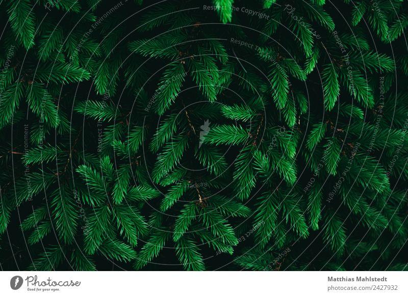 Frisches Grün Natur Pflanze Frühling Sträucher Grünpflanze Tannenzweig nachhaltig natürlich grün Beginn Umwelt Farbfoto Gedeckte Farben Außenaufnahme