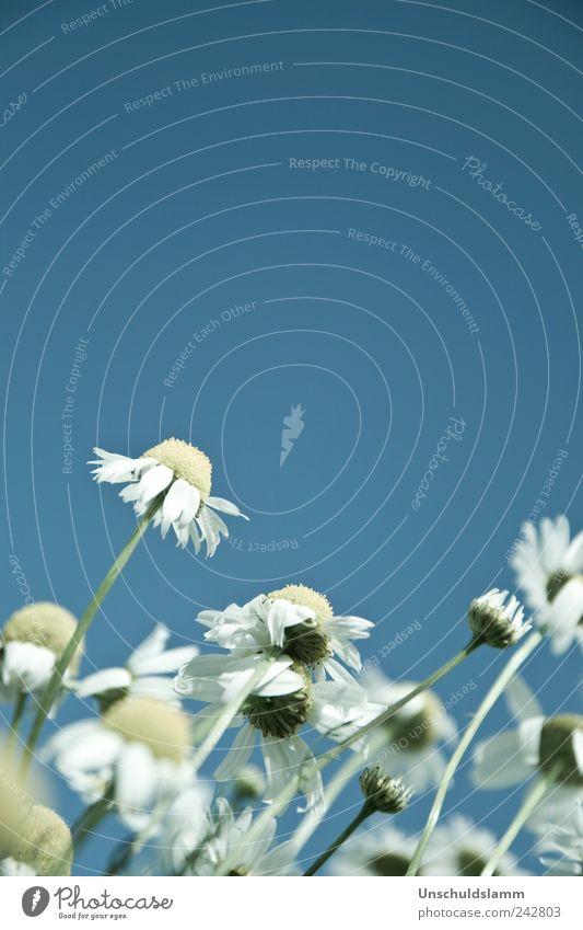 Das Blaue vom Himmel Natur blau weiß Pflanze Sommer Blume gelb Umwelt Wiese Garten Blüte Wachstum Schönes Wetter Wolkenloser Himmel Frühlingsgefühle