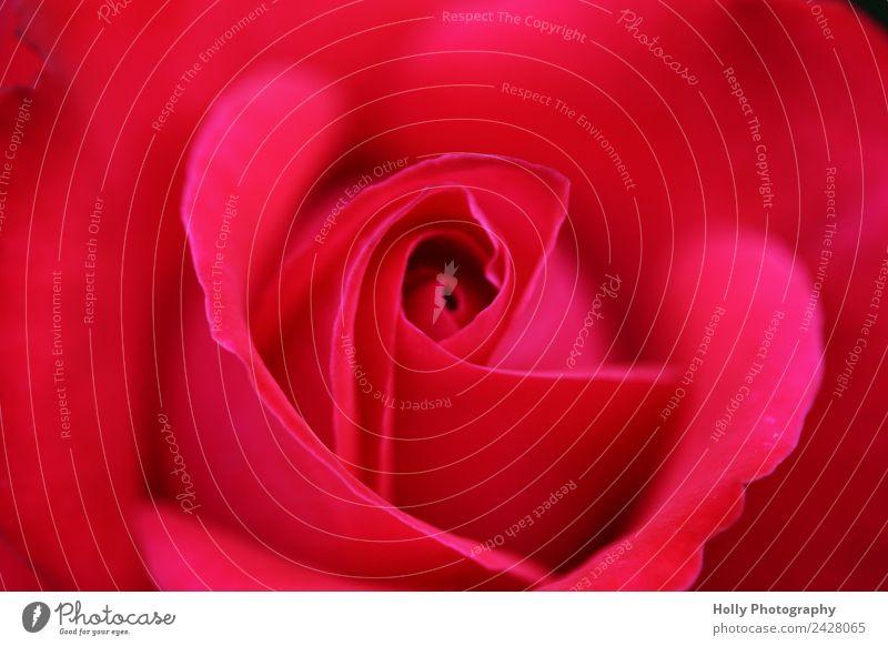 pinke Rose Natur Pflanze rot Umwelt Liebe Blüte Wiese natürlich Garten rosa Park ästhetisch Hochzeit Frieden Leidenschaft