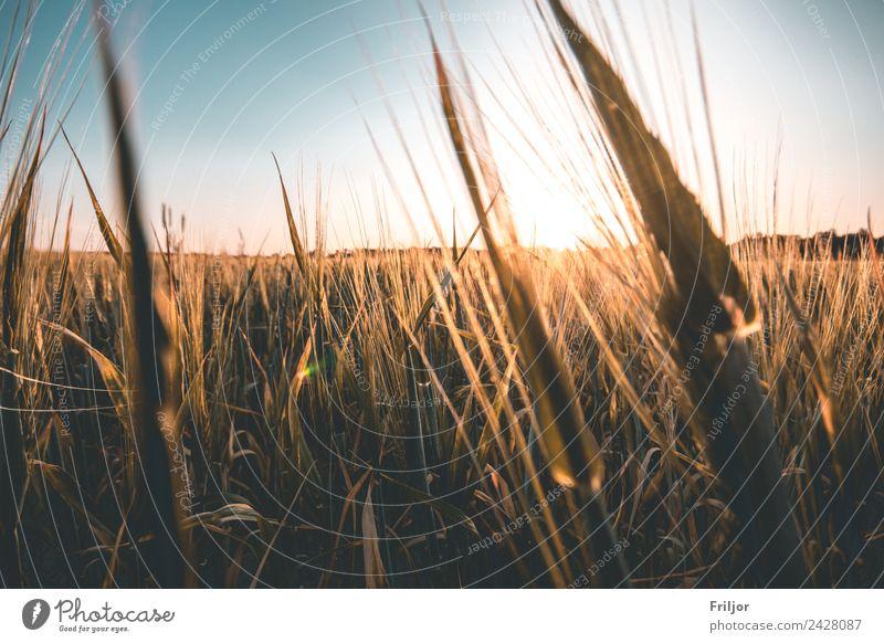 Dorfleben. Umwelt Natur Landschaft Pflanze Wolkenloser Himmel Horizont Sonnenaufgang Sonnenuntergang Sommer Schönes Wetter Nutzpflanze Feld leuchten ästhetisch