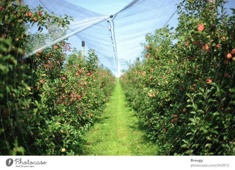 Apfelfeld / Apfelplantage Natur schön Sommer Ferien & Urlaub & Reisen ruhig Ferne Erholung Freiheit Garten Glück Lebensmittel Zufriedenheit Ausflug Netz