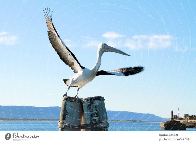 freedom Umwelt Wasser Himmel Schönes Wetter Fjord Wollongong New South Wales Australien Hafen Tier Wildtier Pelikan 1 fliegen blau Flügel Vogel Abheben Farbfoto