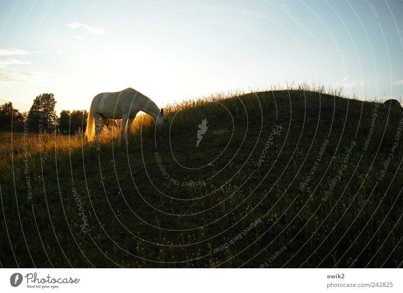 Dinner for one Pferd Umwelt Natur Landschaft Pflanze Tier Wolkenloser Himmel Horizont Klima Schönes Wetter Baum Gras Sträucher Wiese Hügel Schonen 1 Erholung