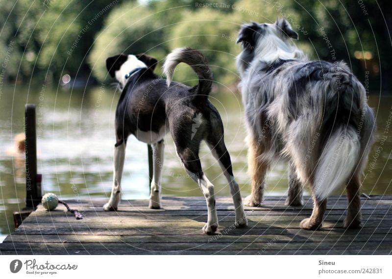 Landeier Natur Wasser Sommer Tier Hund See Freundschaft Zusammensein warten stehen Freizeit & Hobby beobachten Schwimmen & Baden Neugier Steg Wachsamkeit