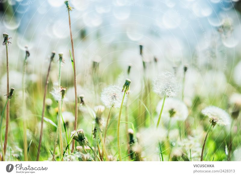 Löwenzahn, Himmel und Bokeh Design Sommer Garten Natur Pflanze Frühling Blume Gras Wiese Feld gelb Hintergrundbild Unschärfe Makroaufnahme Farbfoto Nahaufnahme