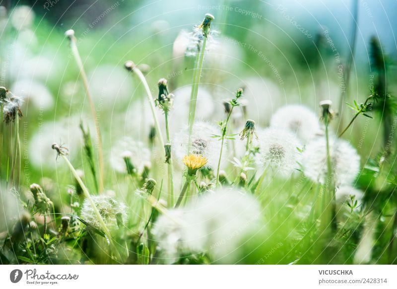 Natur Hintergrund mit wilden Gräsern und Löwenzahn Blumen Design Leben Sommer Landschaft Pflanze Sonnenlicht Schönes Wetter Wildpflanze Garten Park Wiese gelb