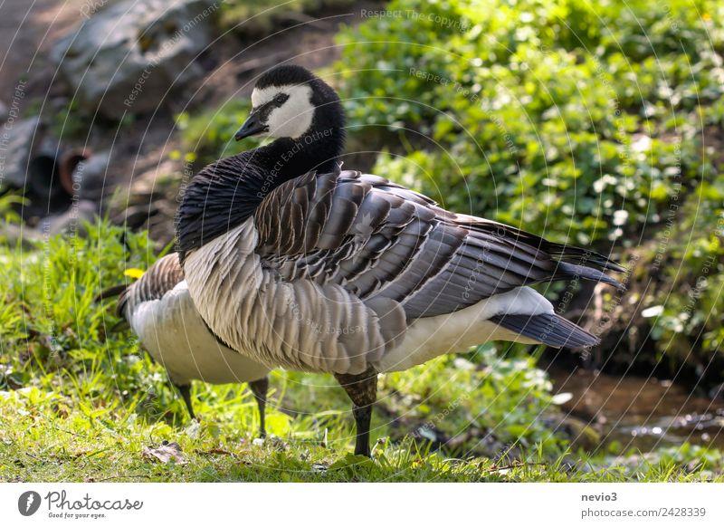 Schwedische Ringelgans (Branta bernicla) Natur Tier Flussufer Haustier Nutztier Wildtier Vogel Flügel Zoo Streichelzoo 1 Blick Aggression grün schwarz weiß