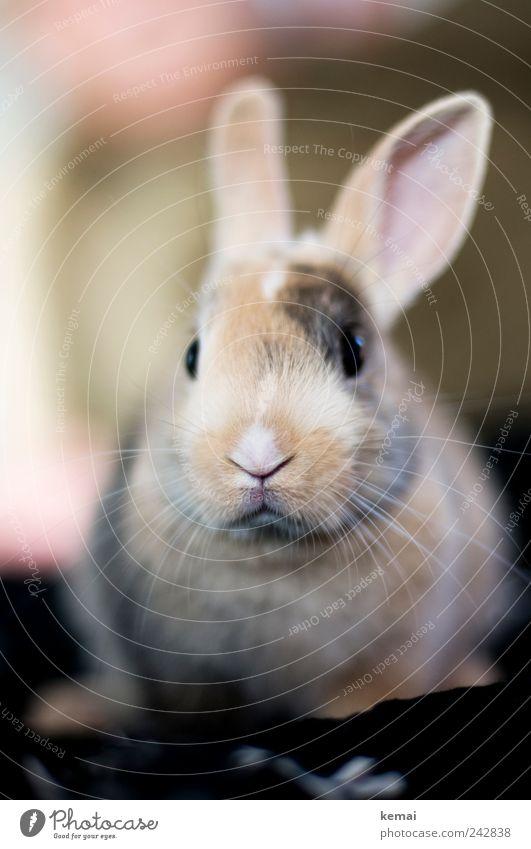 Helmut Tier Tierjunges Auge Angst sitzen niedlich weich Nase Ohr Fell Wachsamkeit Tiergesicht Haustier Hase & Kaninchen kuschlig Nervosität