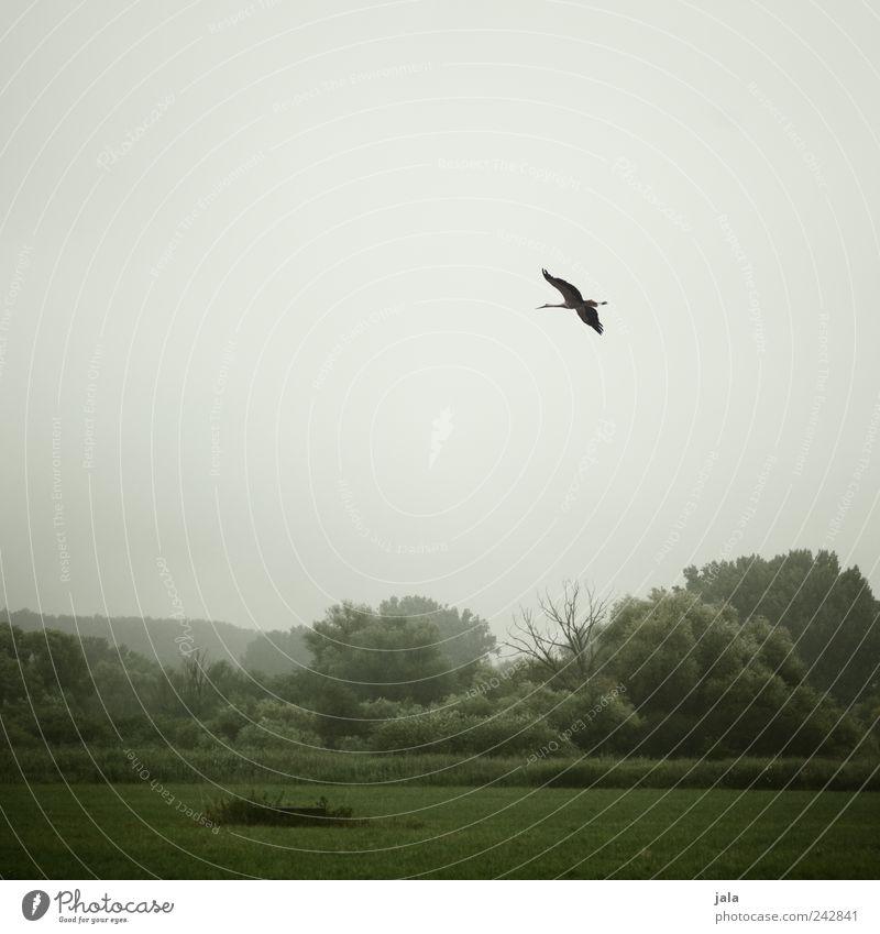natur Natur Landschaft Himmel schlechtes Wetter Pflanze Baum Gras Sträucher Grünpflanze Wildpflanze Wiese Wald Tier Wildtier Vogel Flügel Storch 1 trist grau