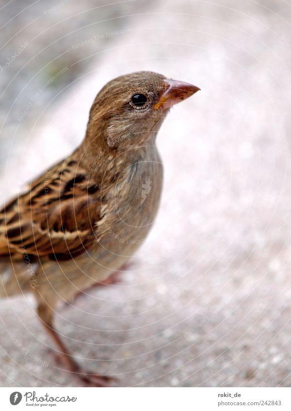 Frecher Piepmatz Tier Vogel Spatz 1 entdecken fallen fliegen Blick Neugier unten braun Tapferkeit Willensstärke Tatkraft Tierliebe Appetit & Hunger Durst
