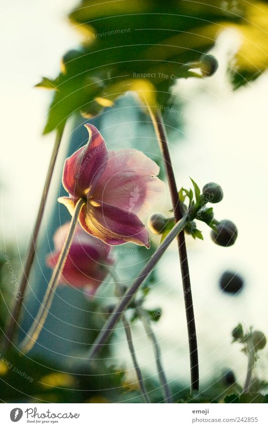vor dem Sonnenuntergang Blume grün Pflanze Sommer Frühling rosa Stengel Blütenknospen Blütenblatt Herbstanemone