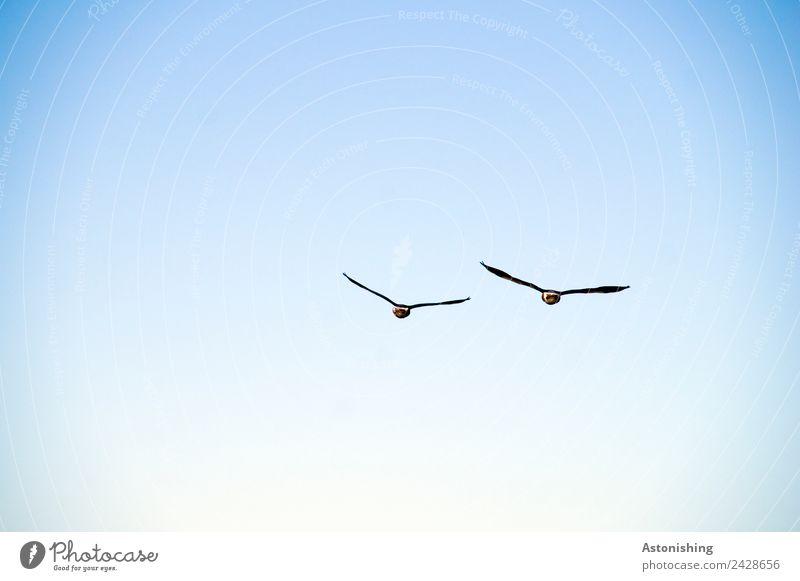 auf Wiedersehen! Luft Himmel Wolkenloser Himmel Sommer Wetter Schönes Wetter Tier Wildtier Vogel Flügel 2 Tierpaar fliegen hoch blau schwarz weiß Abschied groß