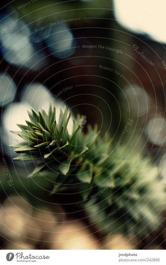 Araukarien Natur grün Baum Pflanze Wiese Umwelt Garten Park natürlich Wachstum außergewöhnlich einzigartig Ast Tanne Zweig exotisch