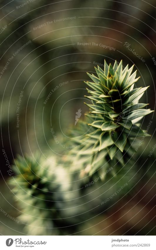 Araukarien Natur Baum Pflanze Umwelt Landschaft Wiese Leben Freiheit Garten Park natürlich Beginn frisch Spitze einzigartig Ast