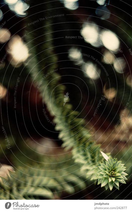 Araukarien Natur alt Ferien & Urlaub & Reisen Baum Pflanze Blatt Umwelt Landschaft Wiese Garten träumen Park außergewöhnlich natürlich Wachstum Tanne