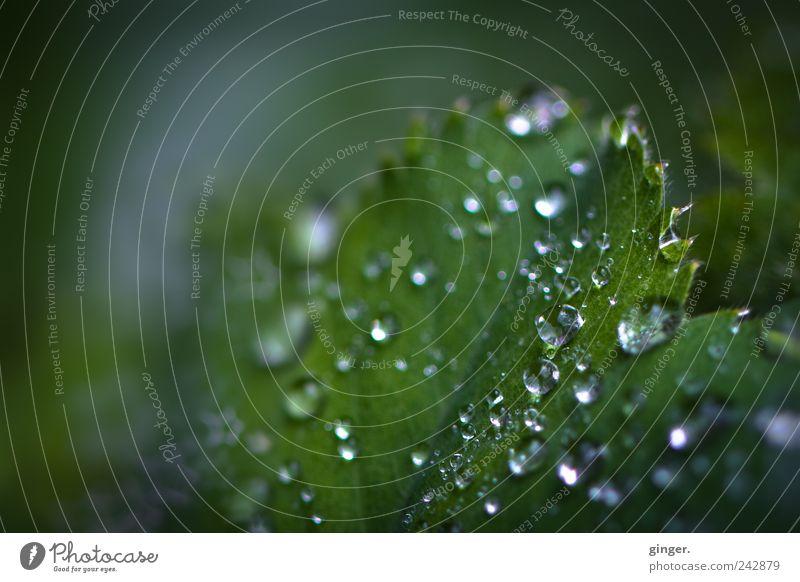 Was vom Sommer übrig blieb Umwelt Natur Pflanze Wasser Wassertropfen Regen Blatt Grünpflanze Garten grün silber hydrophob Frauenmantelblatt nass kalt Unschärfe