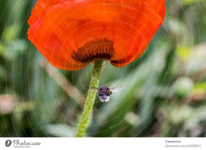 Hummelflug Natur Pflanze Tier Frühling Blume Blüte Mohn Blütenblatt Garten Insekt 1 Blühend fliegen authentisch Duft schön grün orange rot schwarz