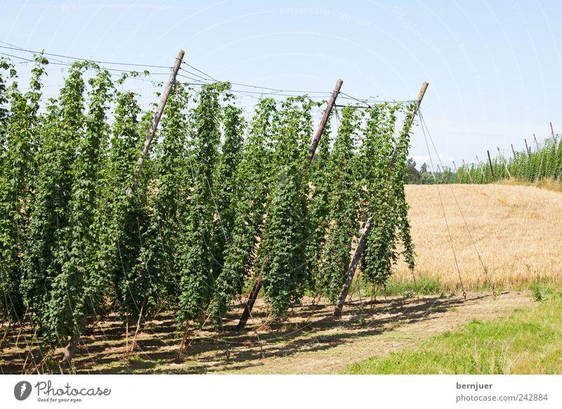 Bierzutaten Natur Himmel Pflanze Sommer Leben Landschaft Feld Erde Hügel Landwirtschaft Schönes Wetter Ackerbau Draht Stab Weizen Hopfen