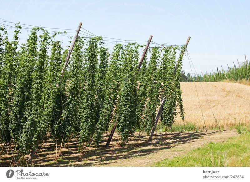 Bierzutaten Natur Landschaft Pflanze Erde Himmel Wolkenloser Himmel Sonnenlicht Schönes Wetter Feld Hügel Leben Hopfen Hallertau Holledau Hopfengarten Weizen