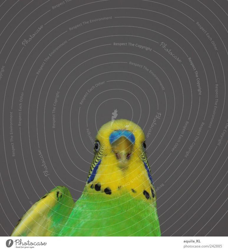 Silberblick Tier Haustier Vogel frei niedlich gelb grün Wellensittich Friedolin Schnabel Feder Flügel Papageienvogel Ziervogel grau Silberbilck lustig Farbfoto