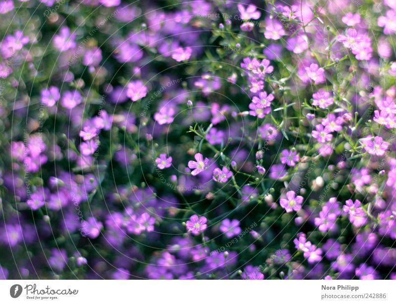 baby's breath Natur schön Blume Pflanze Sommer Blatt Leben Blüte Garten Park klein Umwelt ästhetisch Sträucher violett zart