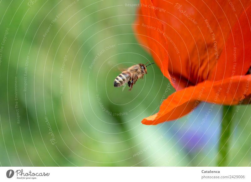 Bienenflug Pflanze Tier Frühling Blume Blüte Mohnblüte Garten Honigbiene Insekt Blühend fliegen verblüht Erfolg blau braun grün orange Leben Mobilität Natur