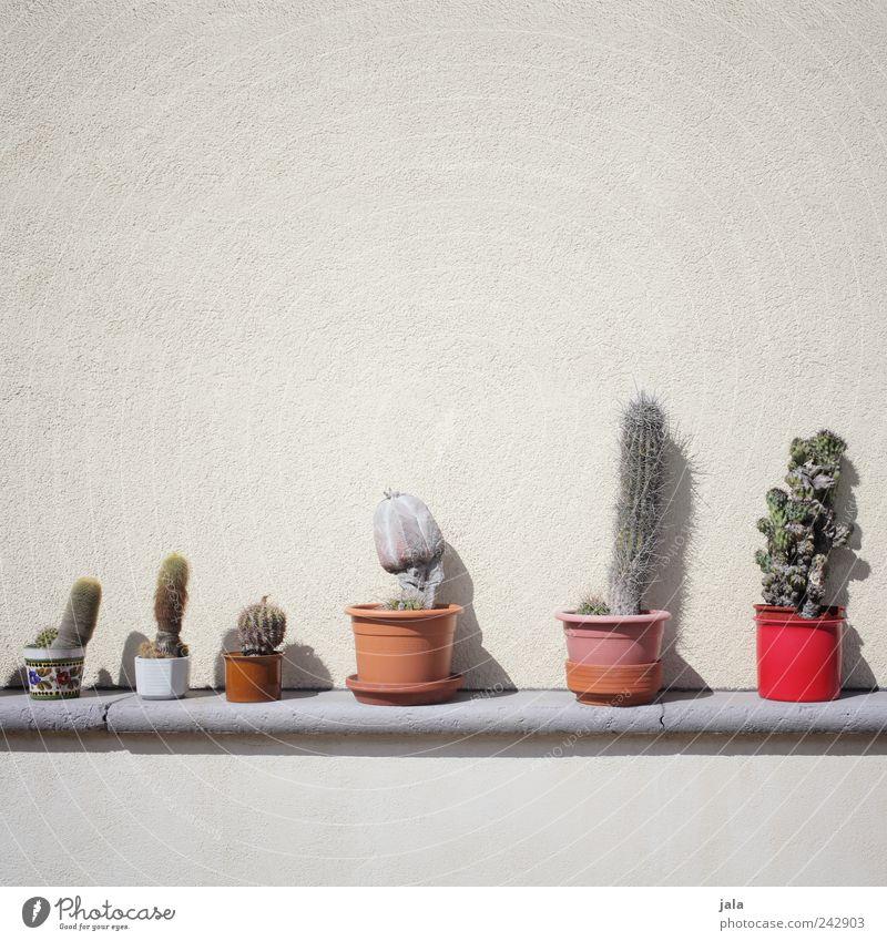 kakteenfreund Pflanze Kaktus Topfpflanze Mauer Wand Fassade ästhetisch gut Sammlung Farbfoto Außenaufnahme Menschenleer Textfreiraum oben Hintergrund neutral