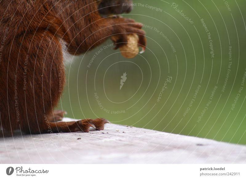 Nussknacker Umwelt Natur Tier Wildtier Eichhörnchen 1 Fressen braun grün Fell Krallen Futter niedlich Pfote Farbfoto Gedeckte Farben Außenaufnahme Nahaufnahme