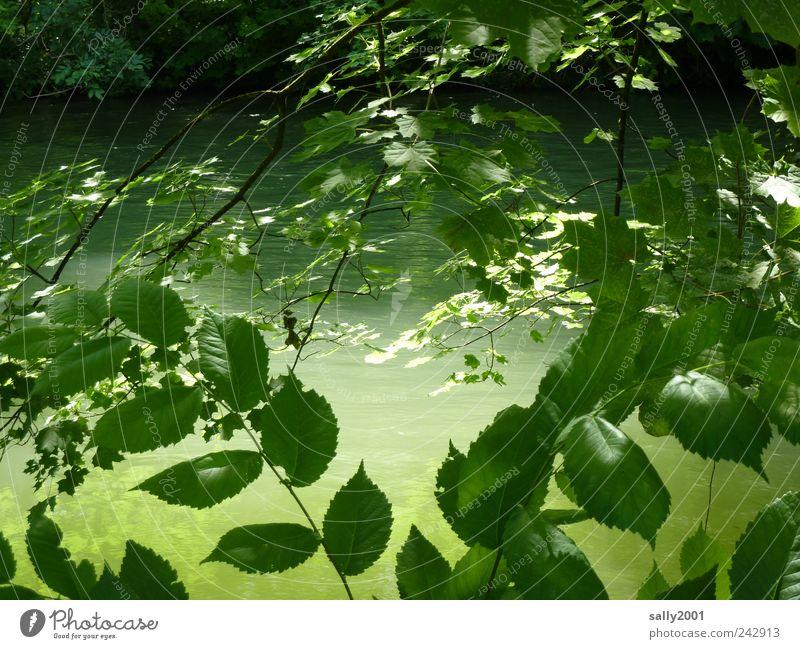Grüner geht's nicht... Natur Pflanze Wasser Sonnenlicht Sommer Schönes Wetter Baum Sträucher Fluss Isar kalt natürlich schön grün Einsamkeit Erholung Frieden