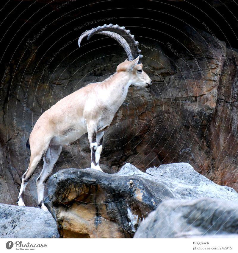 König der Berge Tier Berge u. Gebirge braun Wildtier Horn majestätisch Steinbock